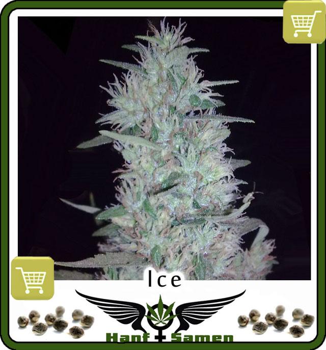 cannabis-saatgut-kaufen